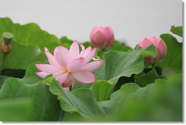 花ハス田 4