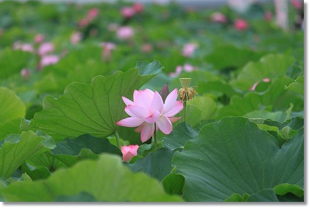 花ハス田 5