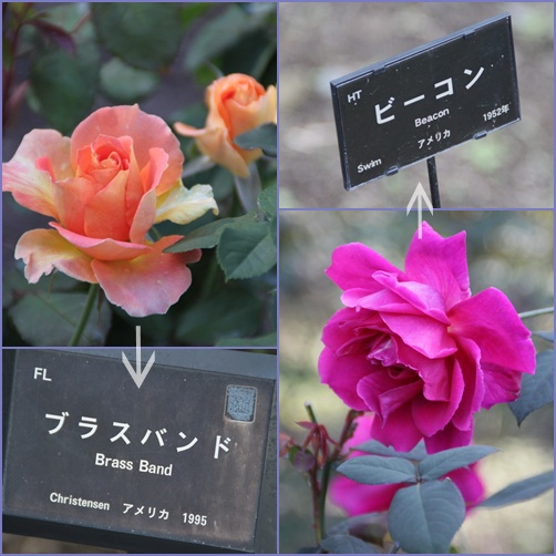アメリカのバラ