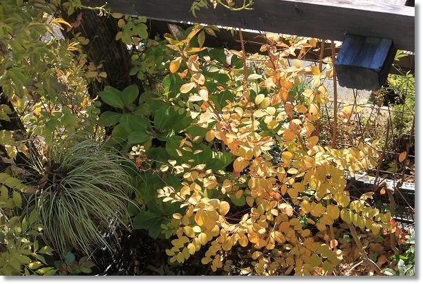 サルスベリ黄葉