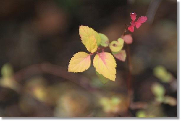 黄金葉のシモツケソウ