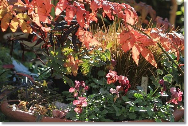 トキンイバラの紅葉