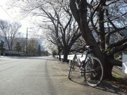 でも桜は満開です