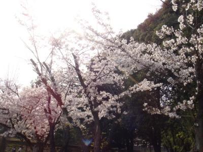 桜は日本人の癒しですね~