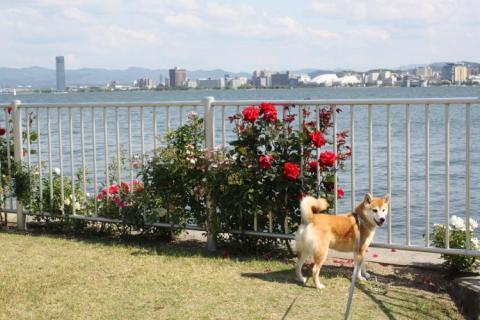 251_convert_20100601020656 琵琶湖 バラ園