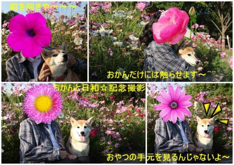 page おかんと日和 コスモス花壇にて