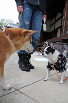 モデル犬のチワワちゃんと
