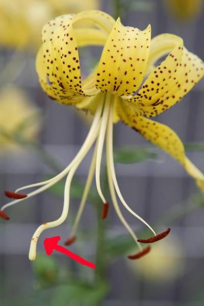 オウゴンオニユリの花