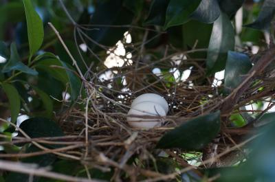 キジバトの卵