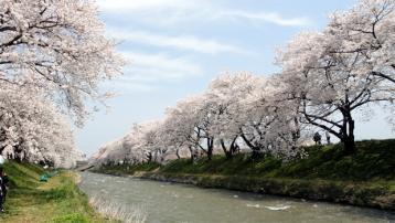 川辺の桜並木