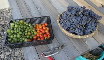 201410 とまととブドウの収穫