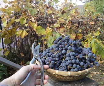 201410 ブドウが山盛りの収穫