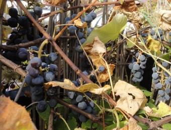 201410中旬 庭のブドウ
