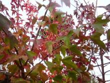 ハート温暖化♪-紅葉