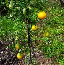 ハート温暖化♪-レモン