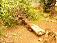 ハート温暖化♪-倒れた木