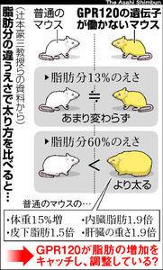 ハート温暖化♪-肥満遺伝子