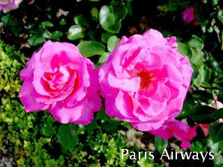 パリ ブローニュの森 バラ園
