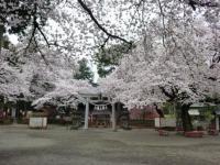 世良田東照宮の桜 5