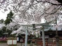 世良田東照宮の桜 4