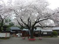 世良田東照宮の桜 3