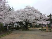 世良田東照宮の桜 1
