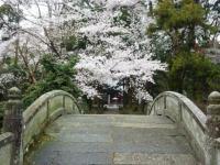 三仏堂の桜