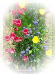 咲きそろったチューリップ