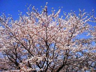 木場公園の桜