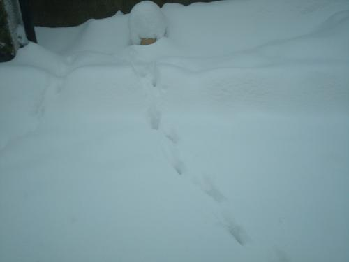 snow 3rd day fox footprints