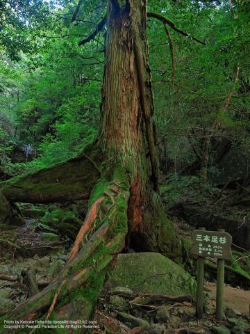 屋久島 白谷雲水峡9 二本足杉