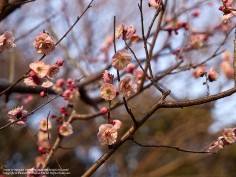 久良岐公園の梅