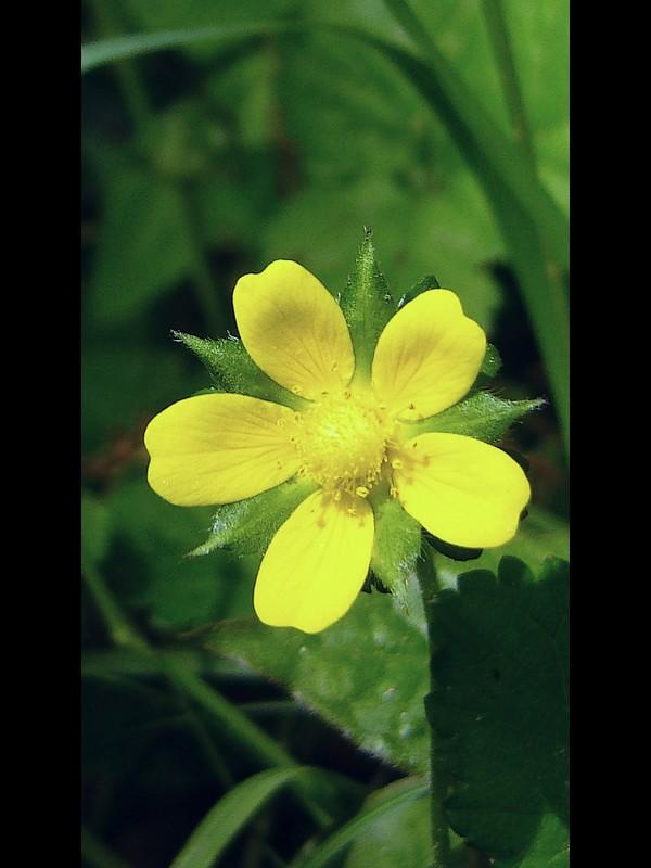 ヤブヘビイチゴ 花