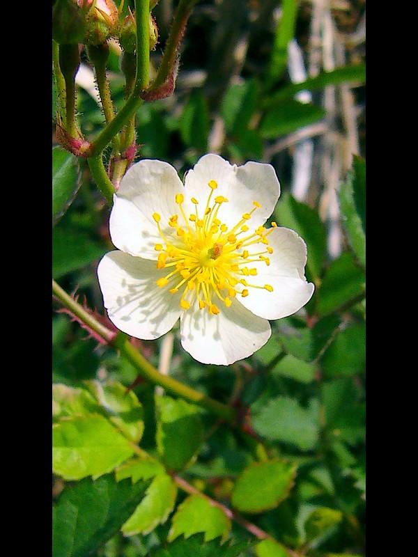ノイバラ 花(薄いピンク)