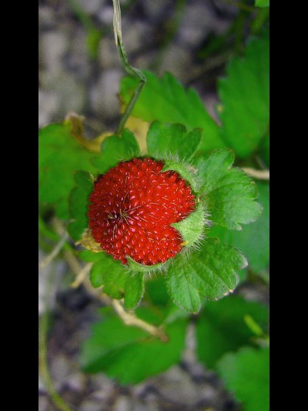 ヤブヘビイチゴ 果実