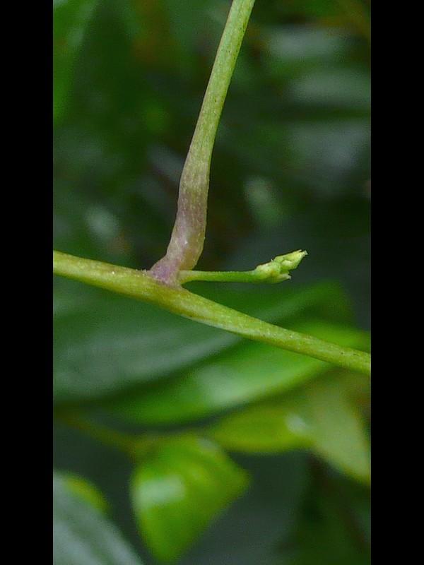 オニドコロ 葉柄
