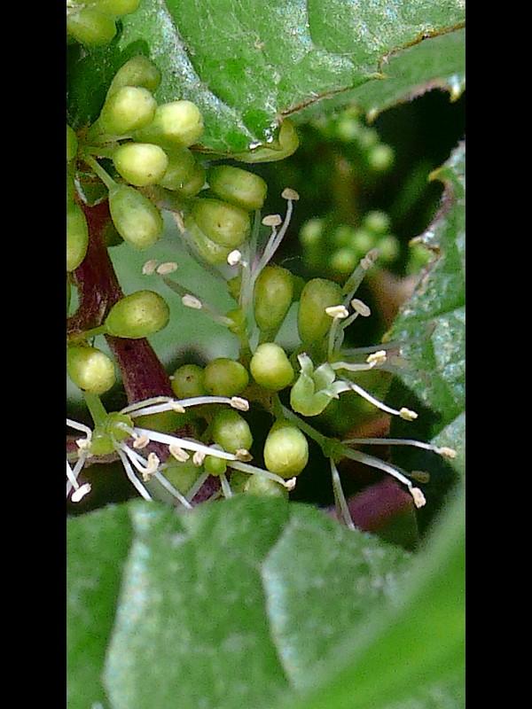 キクバエビヅル 花弁