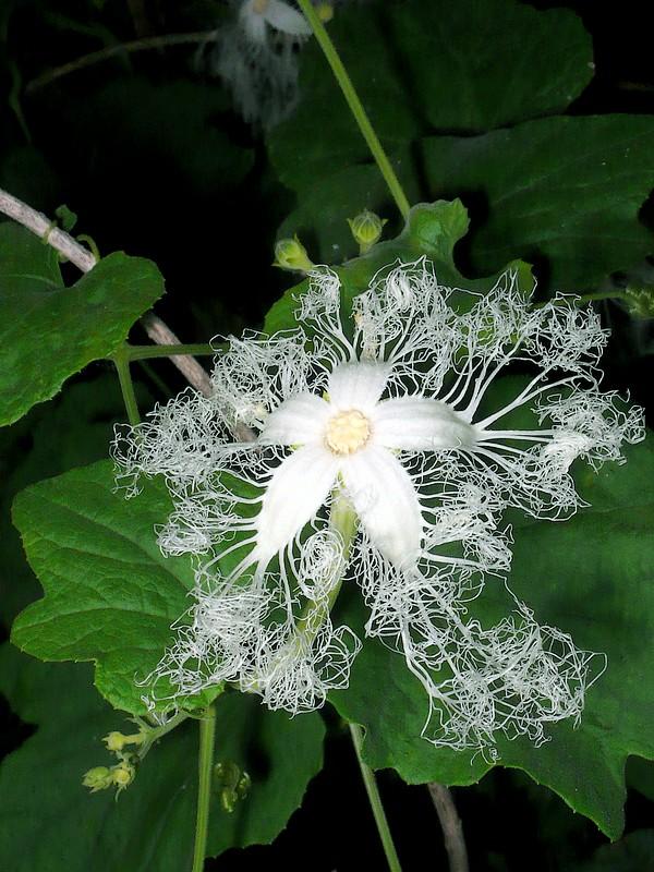 カラスウリ 花