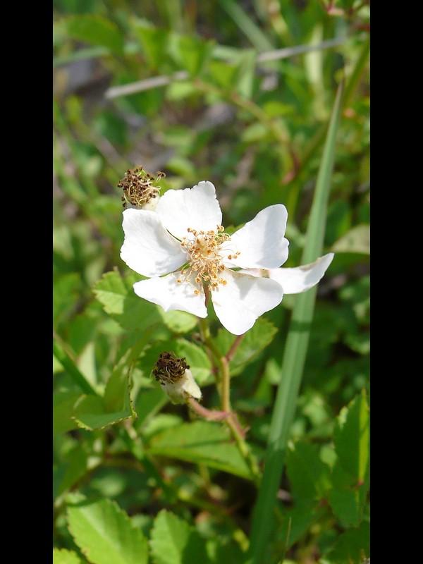 ノイバラ 終わりかけの花と花後