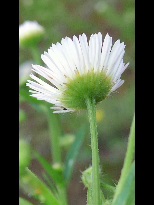 ヒメジョオン 頭花の後ろ(総苞)