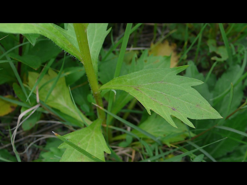 ヒメジョオン 下部の葉