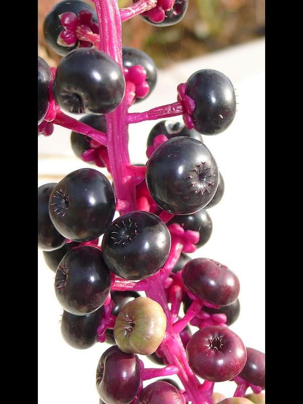 ヨウシュヤマゴボウ 少し若い果実