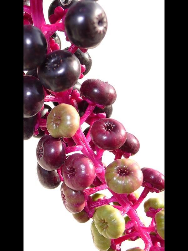 ヨウシュヤマゴボウ 黒く熟した果実