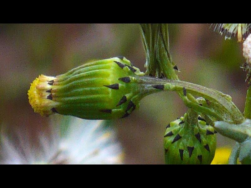 ノボロギク 頭花の総苞