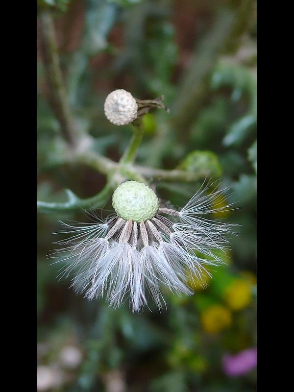 ノボロギク 果実と種子
