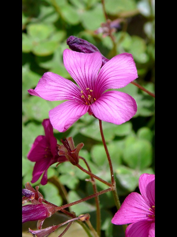 ベニカタバミ 花