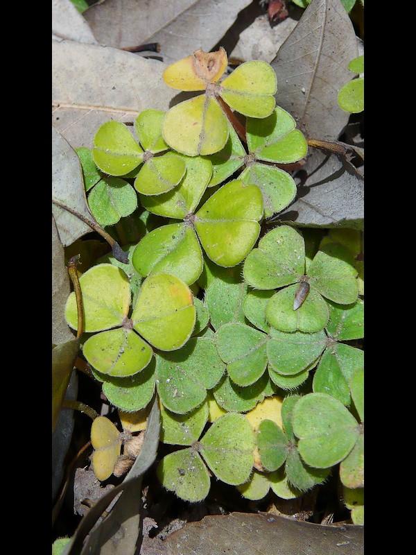 ベニカタバミ 葉