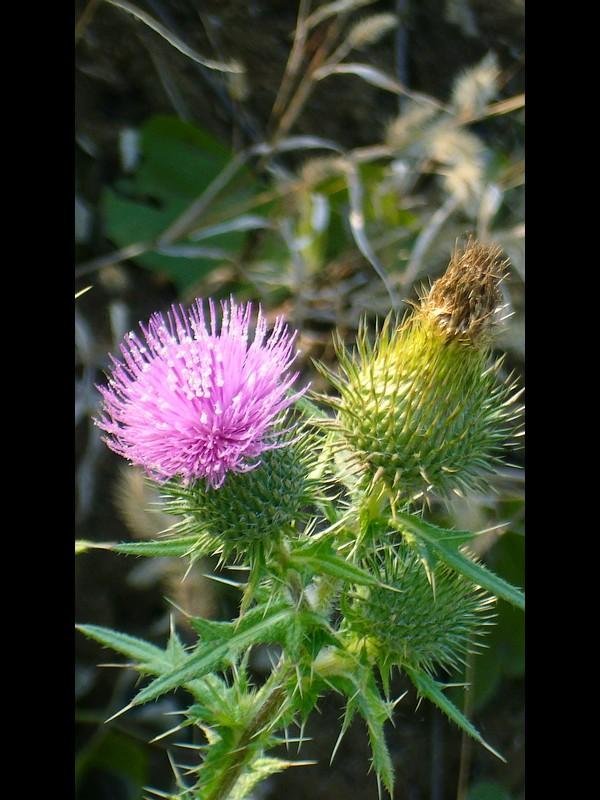 アメリカオニアザミ 花序