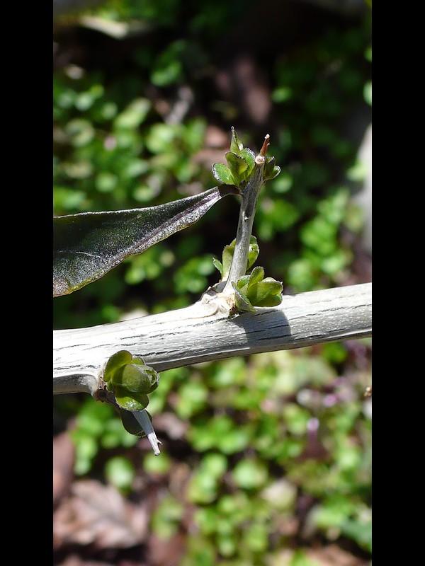 クコ 棘状の短枝
