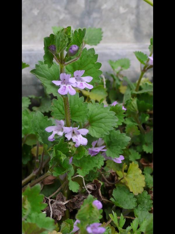 カキドオシ 花序